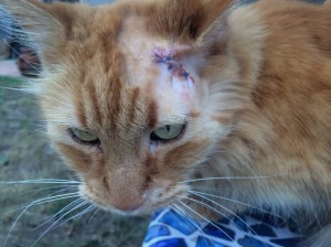 bella scratch on head with stiches